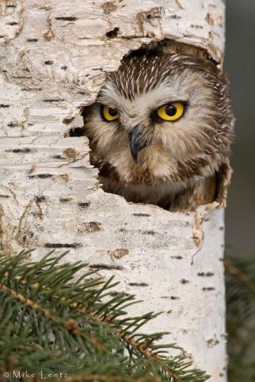 221439-Peeking-Owl