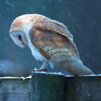 34072-Owl-Weathering-The-Rain