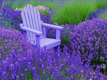 196997-Lavender-Farm