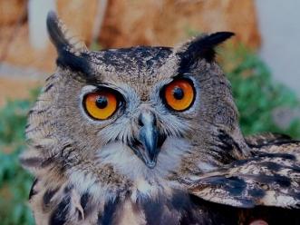 79917-Owl-Eyes