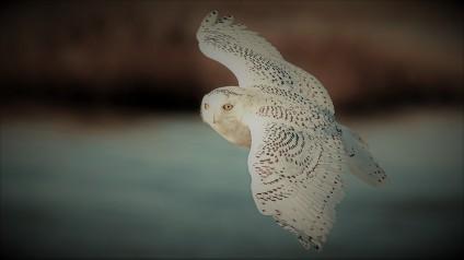Owl National Audubon Society
