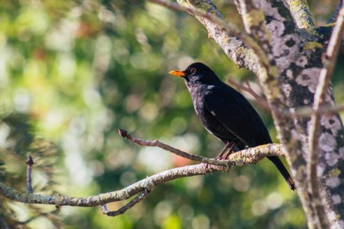 avian-bird-black-bird-2167039