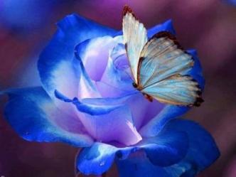 120604-Blue-Butterfly-On-Blue-Rose