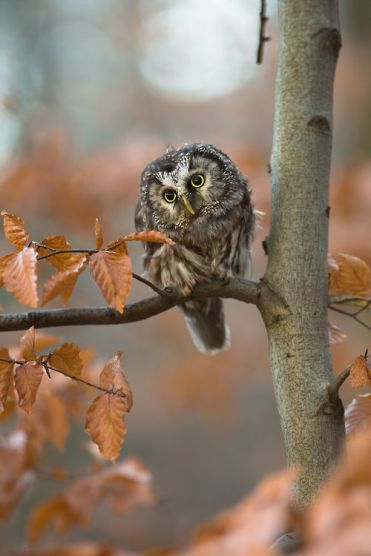 132591-Cute-Owl-In-The-Fall